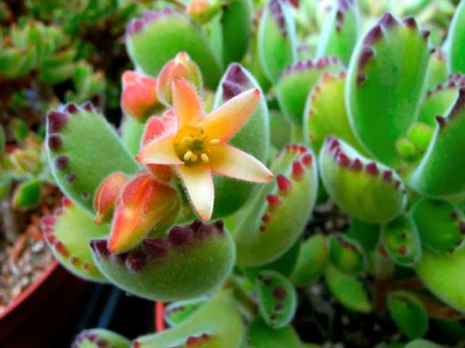 Gėlės nuotrauka. (Pavadinimas: Kotiledonas)