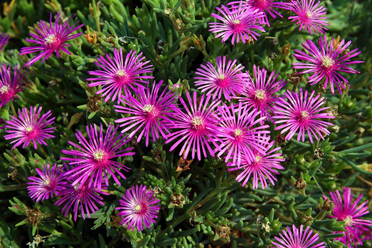 Gėlė Lamprantas