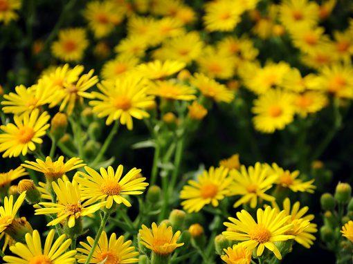 Gėlės nuotrauka. (Pavadinimas: Laumenė)