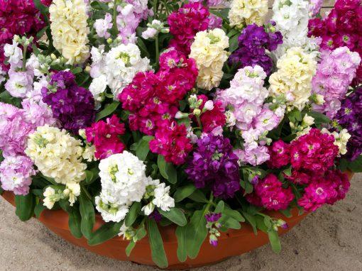 Gėlės nuotrauka. (Pavadinimas: Leukonija)