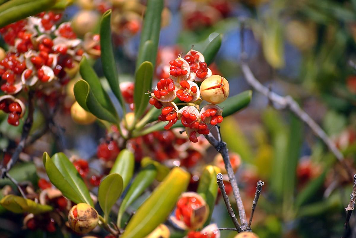 Lipniasėklio vaisiai