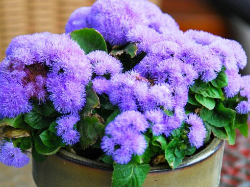 Gėlės nuotrauka. (Pavadinimas: Meksikinis žydrūnis)