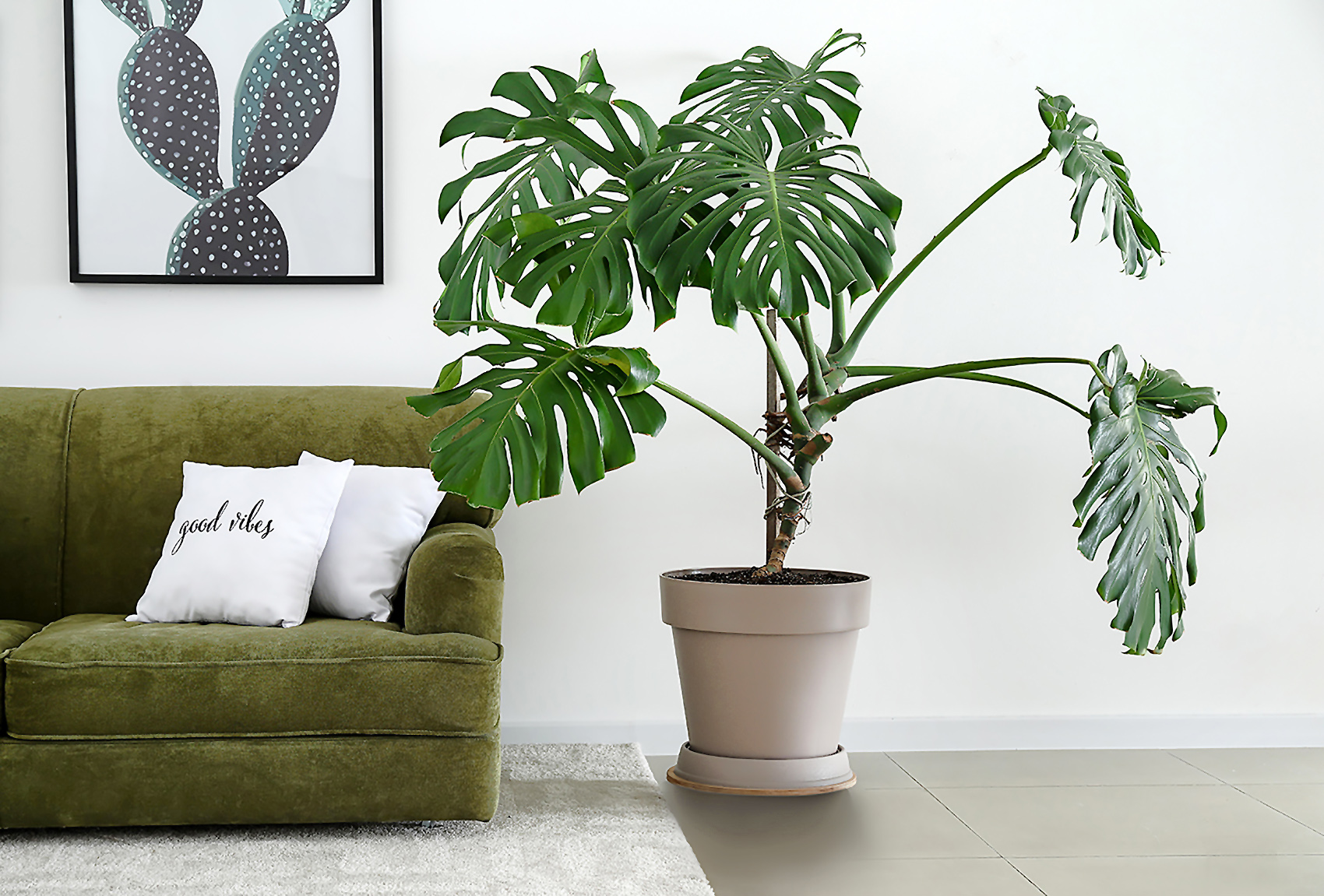 Gėlė Monstera