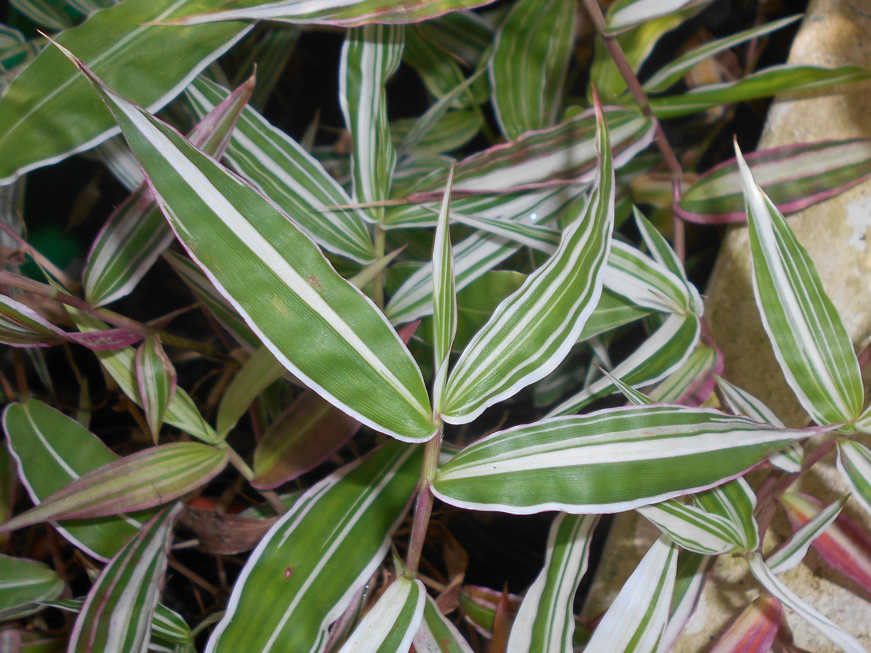 Gėlė Oplismenas