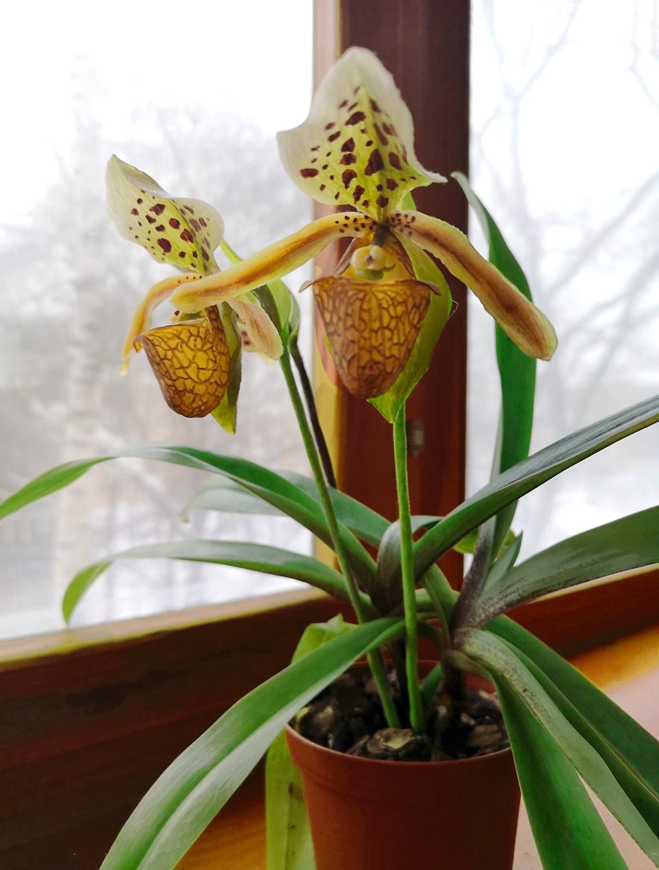 Orchidėja raibuolė