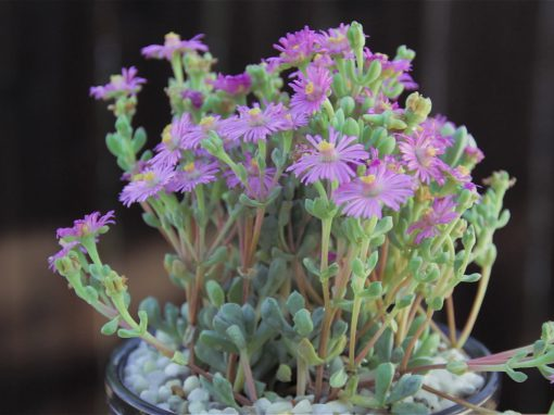 Gėlės nuotrauka. (Pavadinimas: Oskuliarija)