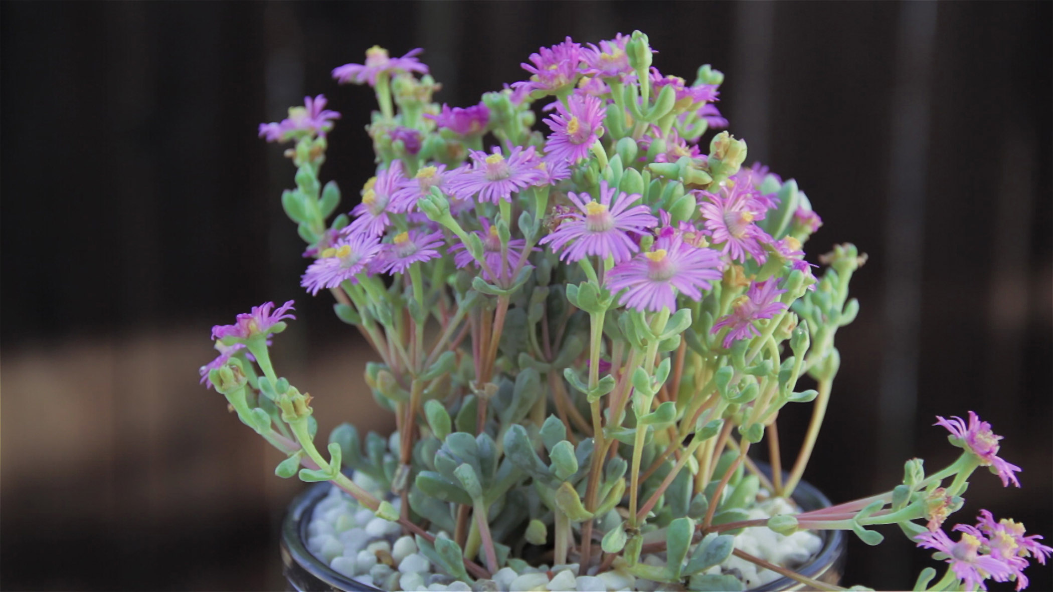 Gėlė Oskuliarija