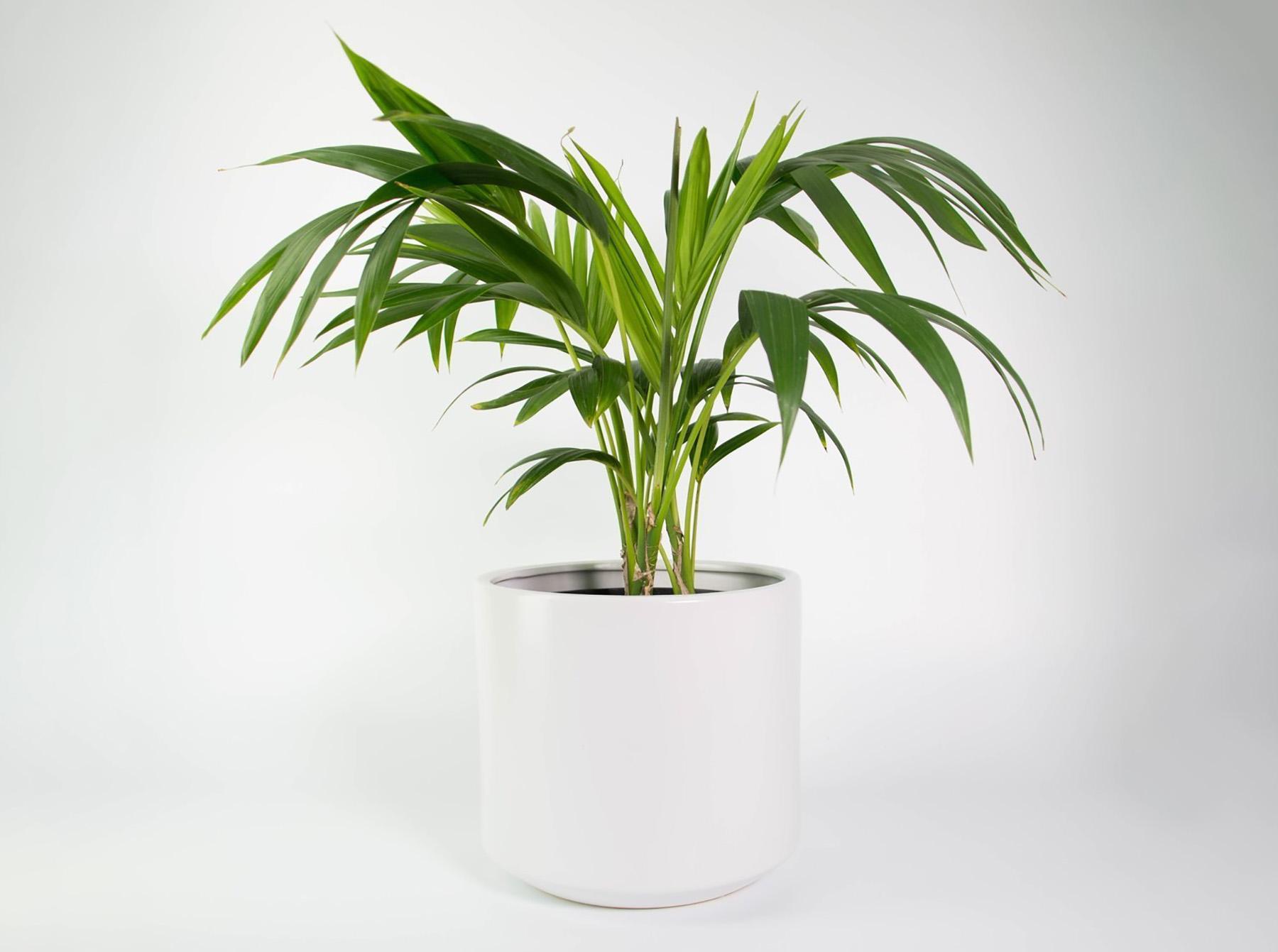 Palmė hovėja