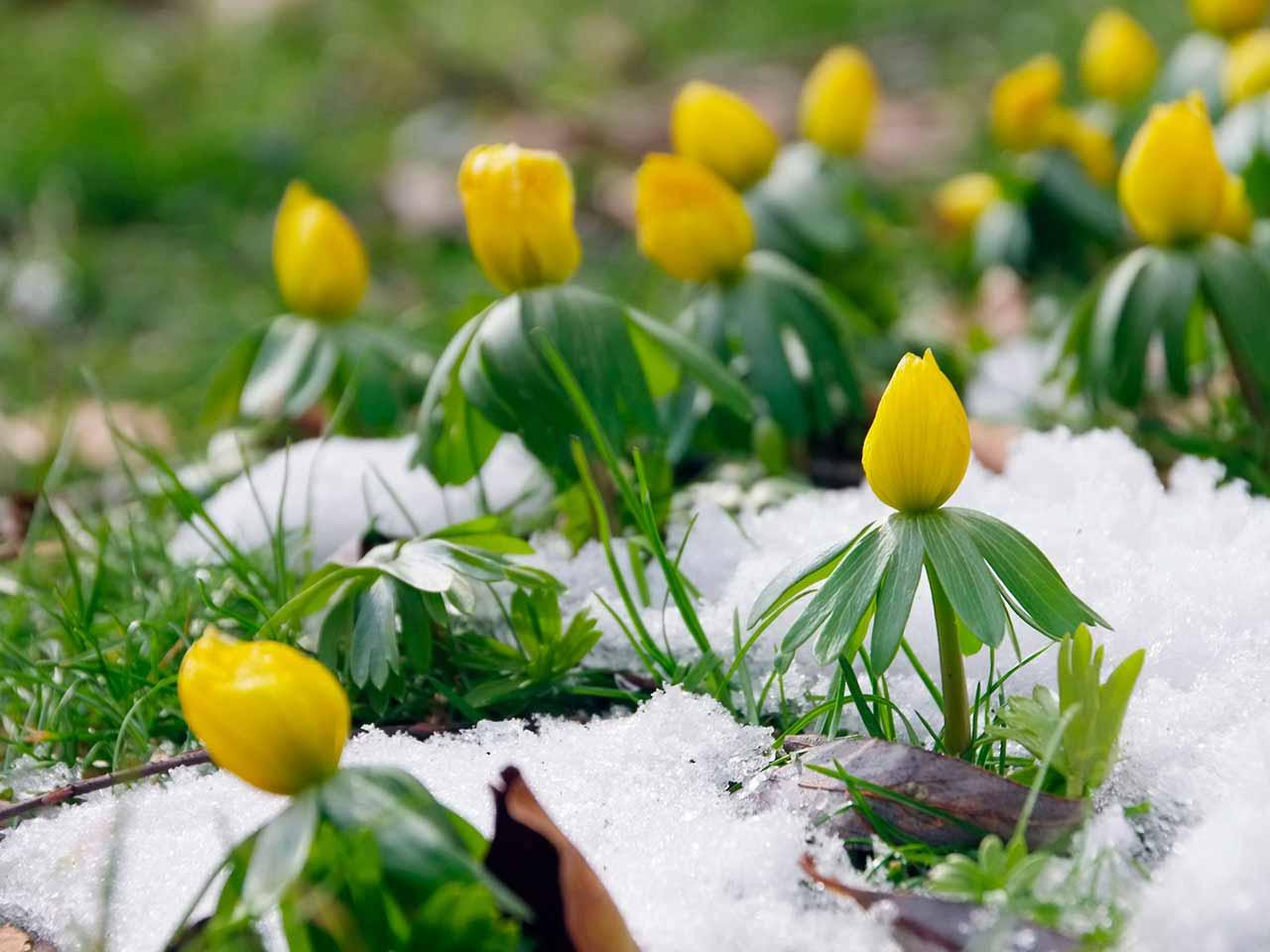 Pavasarinis erantis