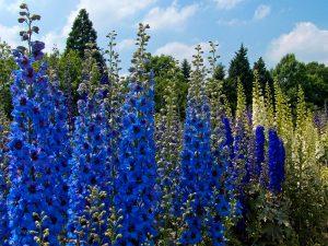 Pentiniai (gėlės)