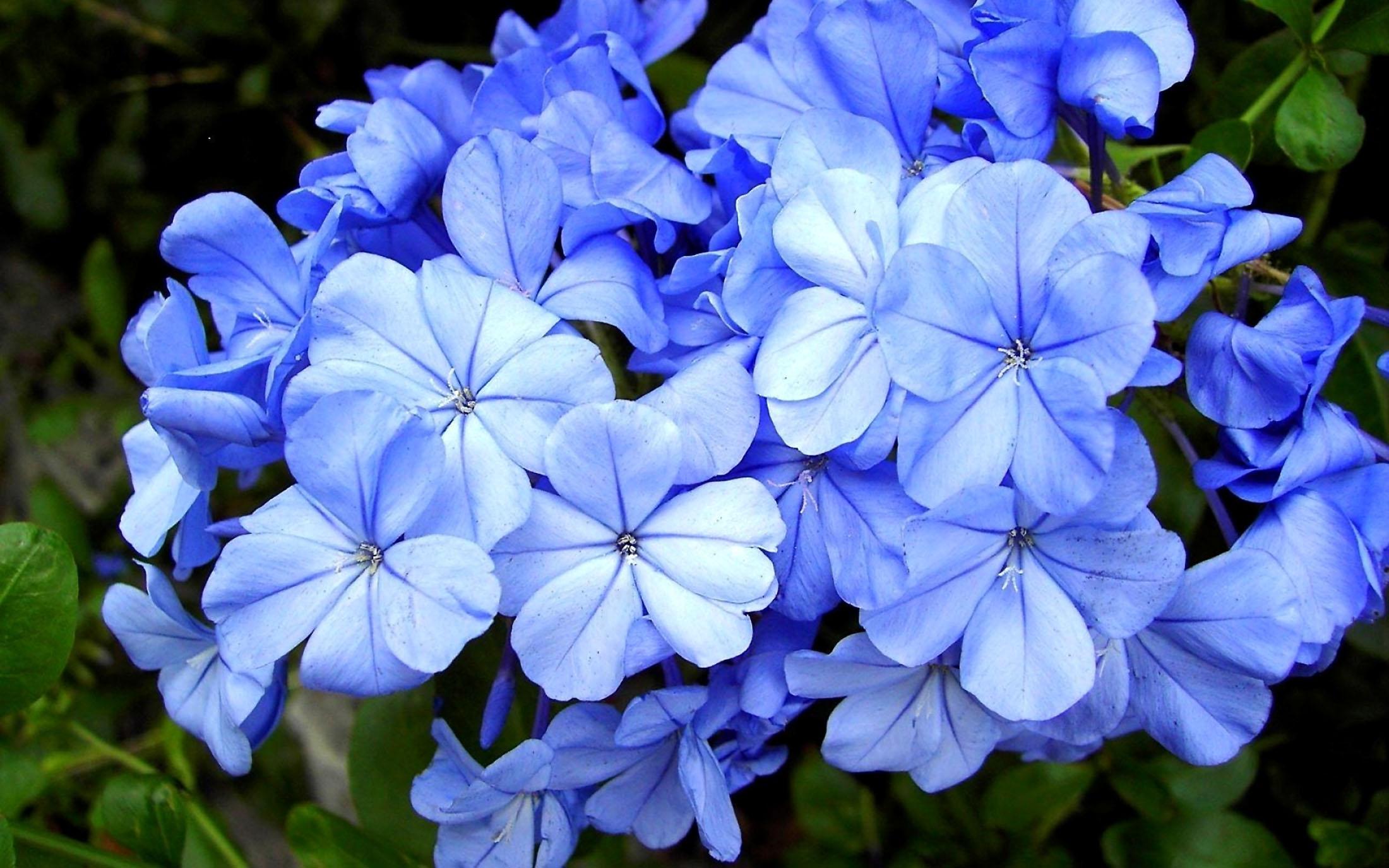 Gėlė Pliumbagis (Švinažolė)