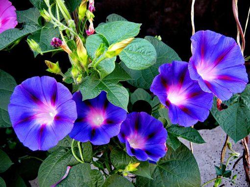 Gėlės nuotrauka. (Pavadinimas: Purpurinis sukutis)