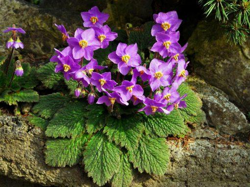 Gėlės nuotrauka. (Pavadinimas: Serbian Phoenix Flower)