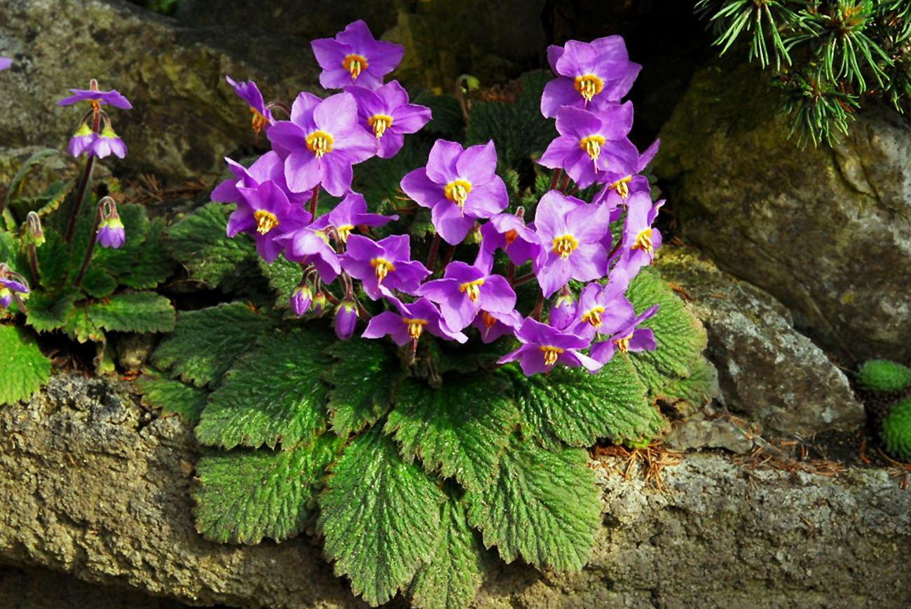 Ramonda (gėlė)