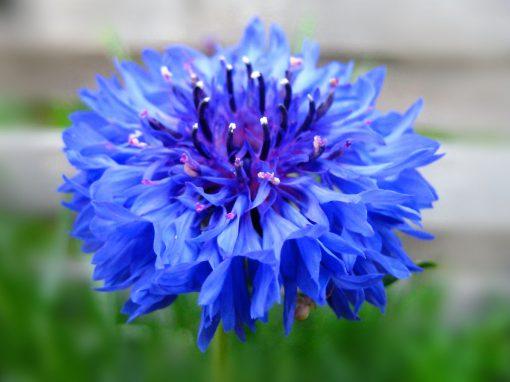 Gėlės nuotrauka. (Pavadinimas: Rugiagėlė)