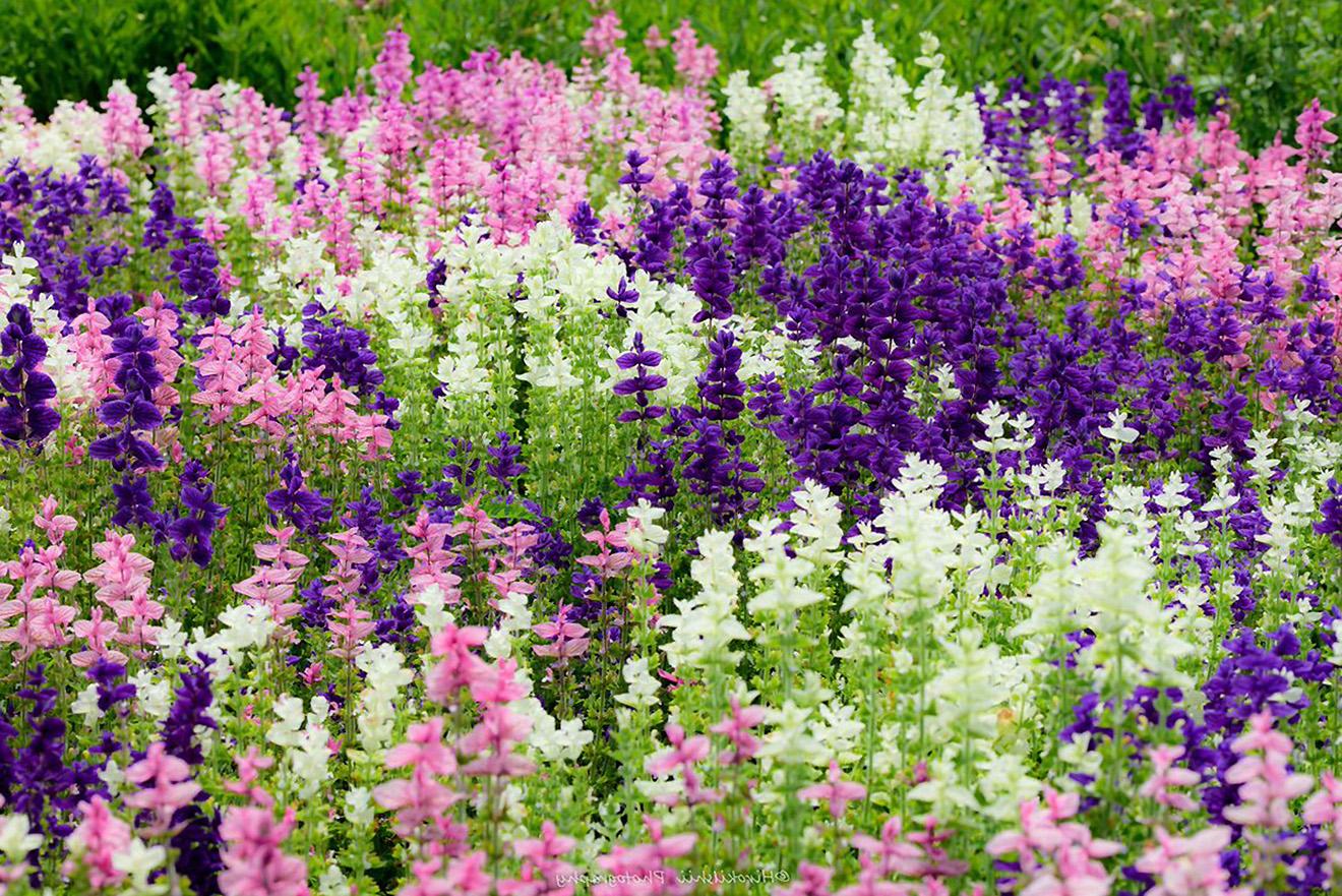 Šalavijai žydintys baltai, violetiniai, rausvai