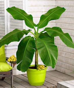 TIkras bananmedis vazone (musa)
