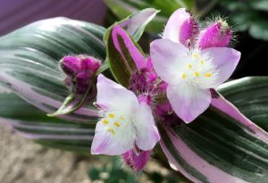 Tradeskantė Blossfeldiana (gėlė)