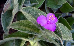 Tradeskantė Sillamontana (gėlė)