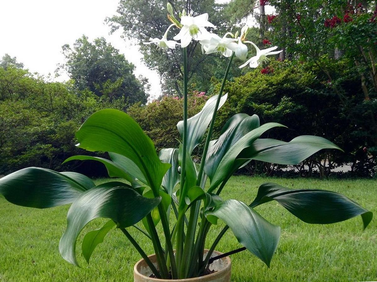 Vazoninė gėlė eucharis