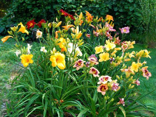 Gėlės nuotrauka. (Pavadinimas: Vienadienės)