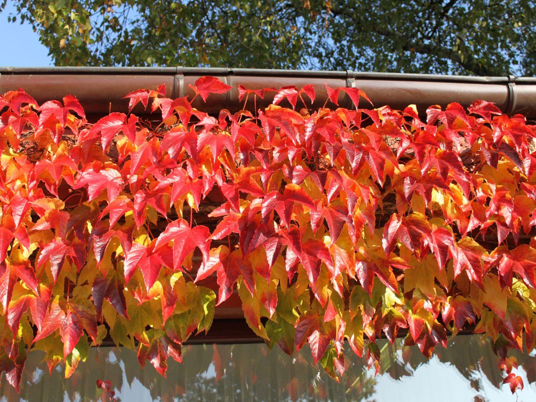 vinvytis rudenį (spalva)