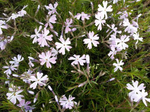 Gėlės nuotrauka. (Pavadinimas: Ylalapis Flioksas)