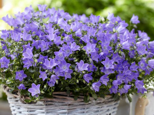 Gėlės nuotrauka. (Pavadinimas: Žiedingasis katilėlis)