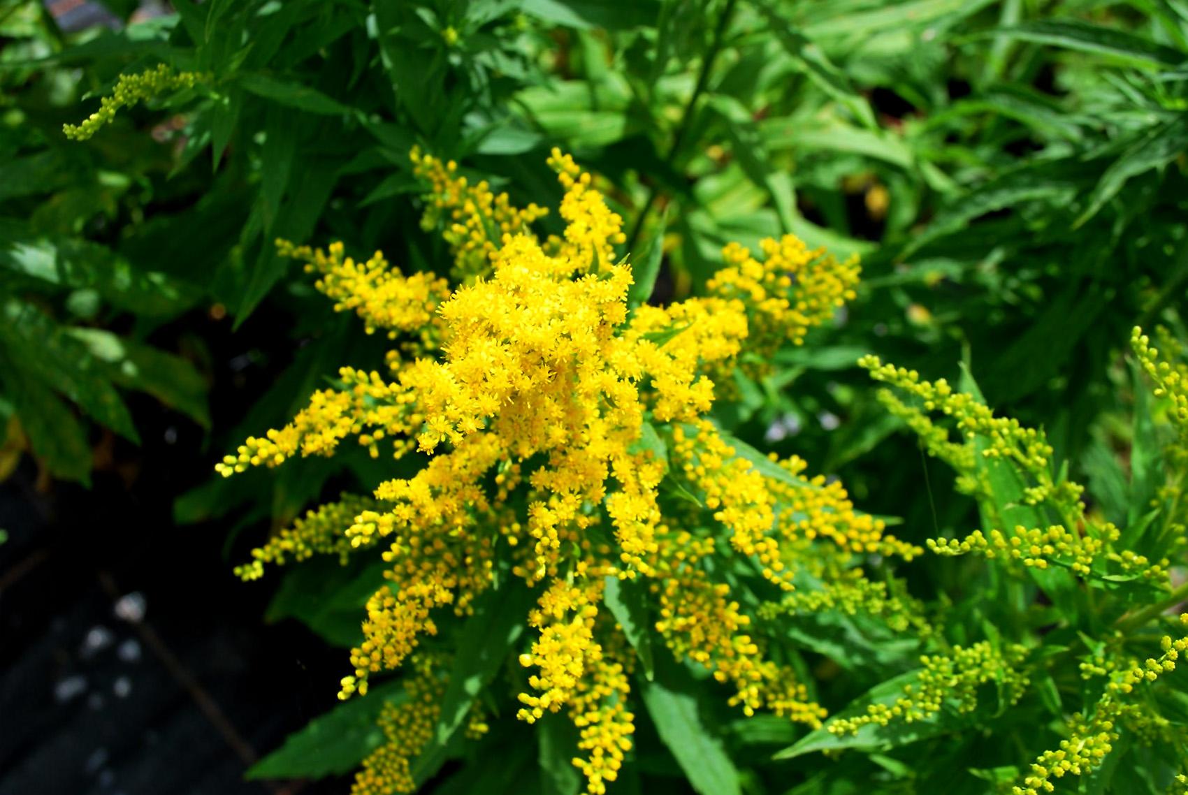 Augalas rykštenė (Goldenrod)