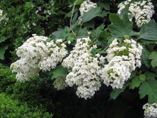 Gėlės nuotrauka. (Pavadinimas: Ąžuolialapė hortenzija)