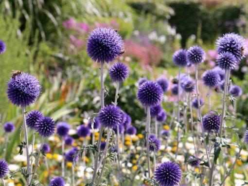 Gėlės nuotrauka. (Pavadinimas: Bandrenis)