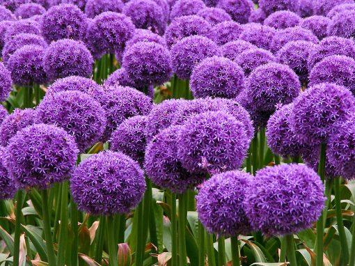 Gėlės nuotrauka. (Pavadinimas: Dekoratyvinis česnakas)