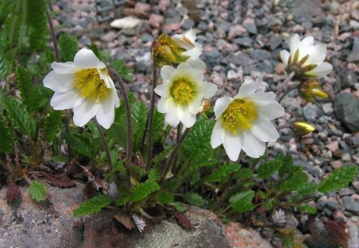 Gėlės driados