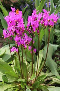 Dvylikadeivė (gėlė)