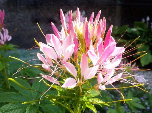 Gėlės nuotrauka. (Pavadinimas: Kleomė)