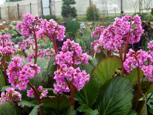 Gėlės nuotrauka. (Pavadinimas: Bergenija)