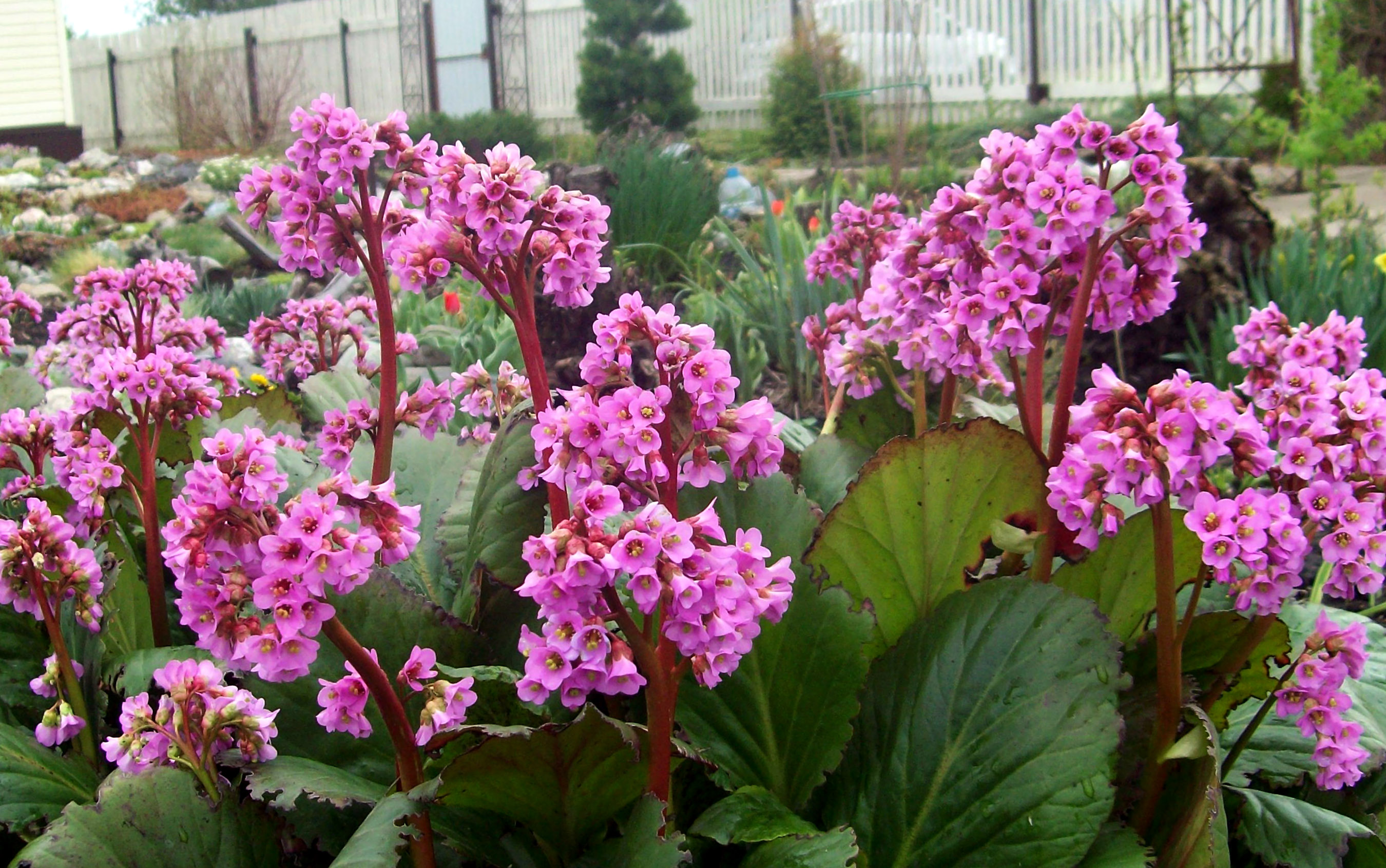 Gėlė bergenija