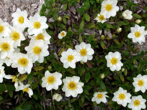 Gėlės nuotrauka. (Pavadinimas: Aštuoniukė driada)