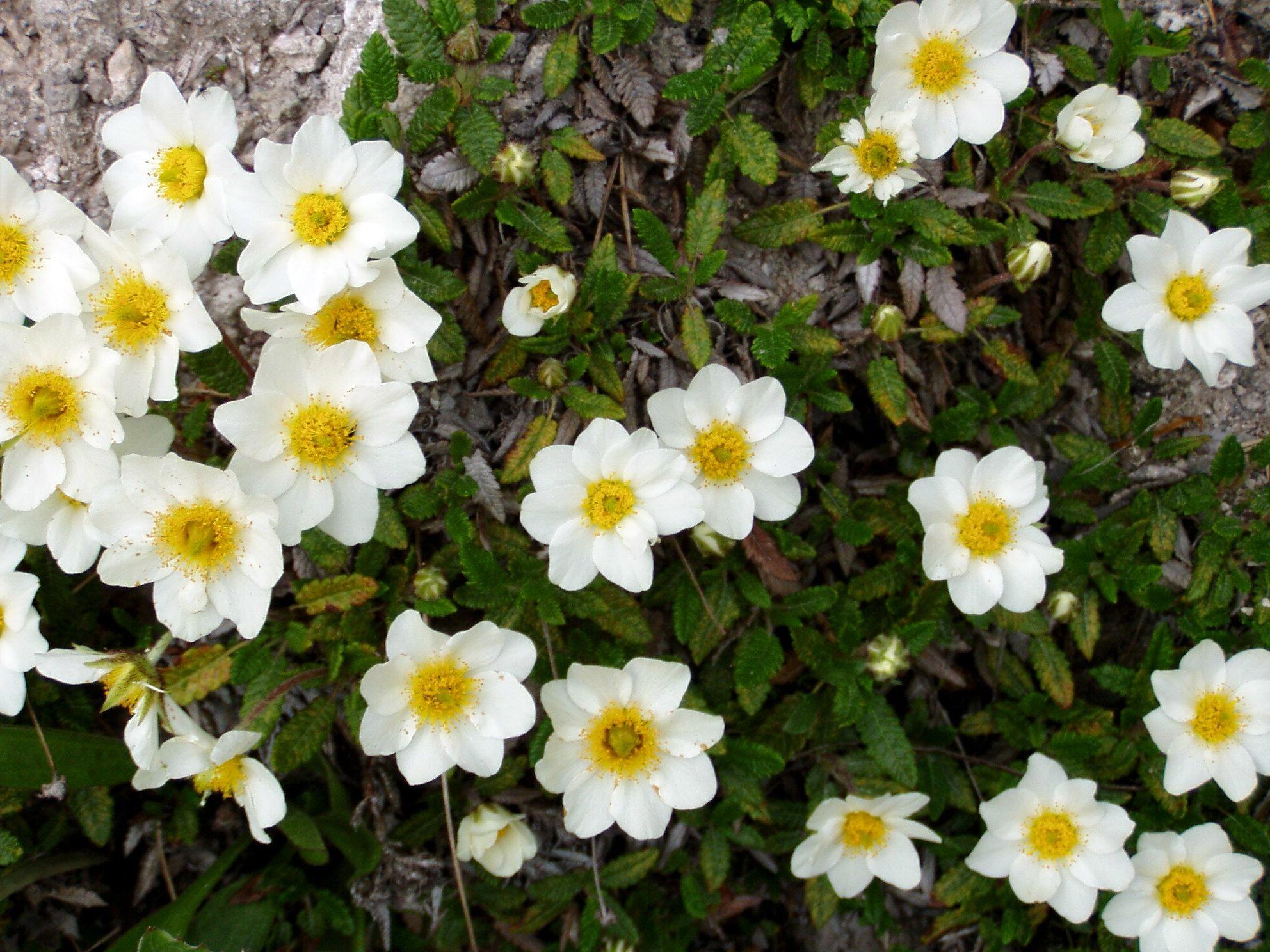 Gėlė driada