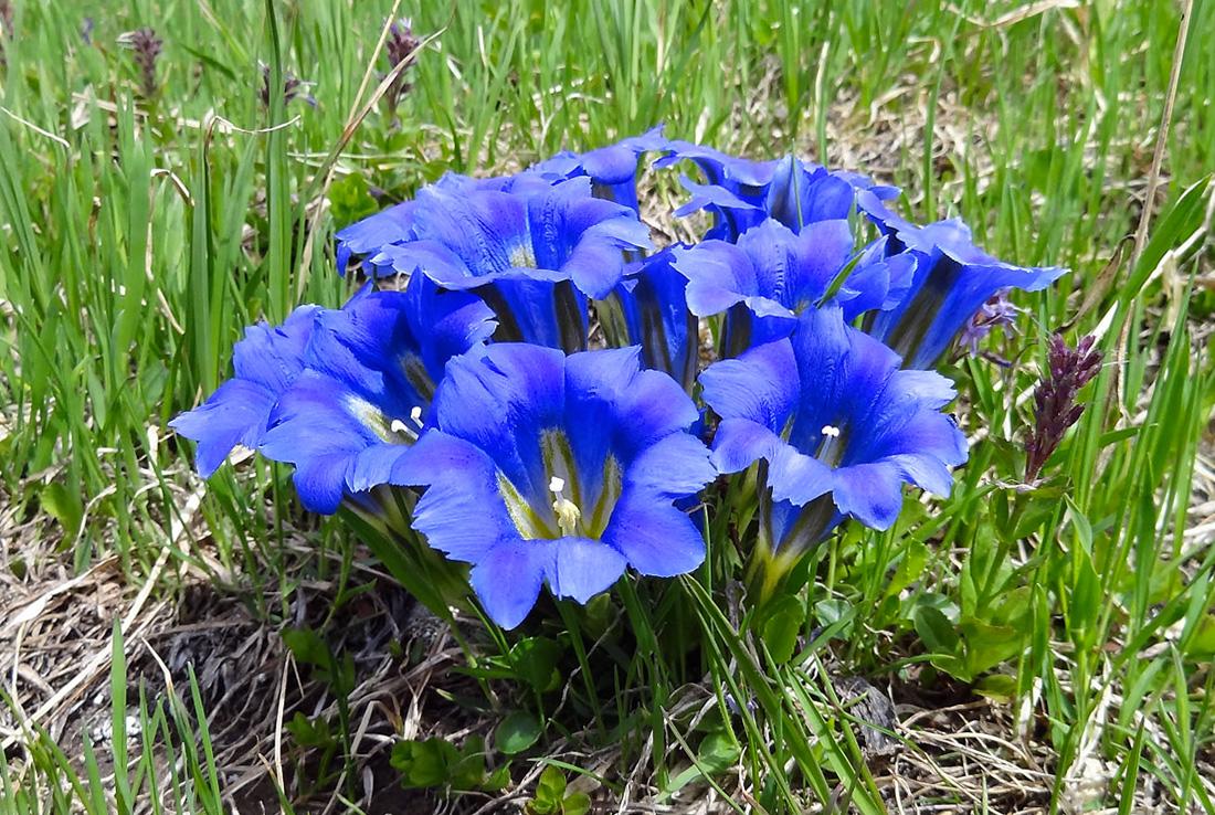Gėlė gencijonas