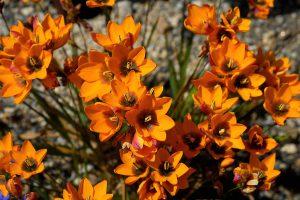 Gėlė iksia maculata