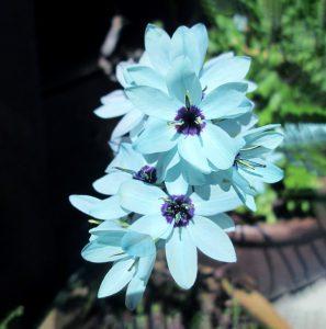 Gėlė Iksija viridiflora