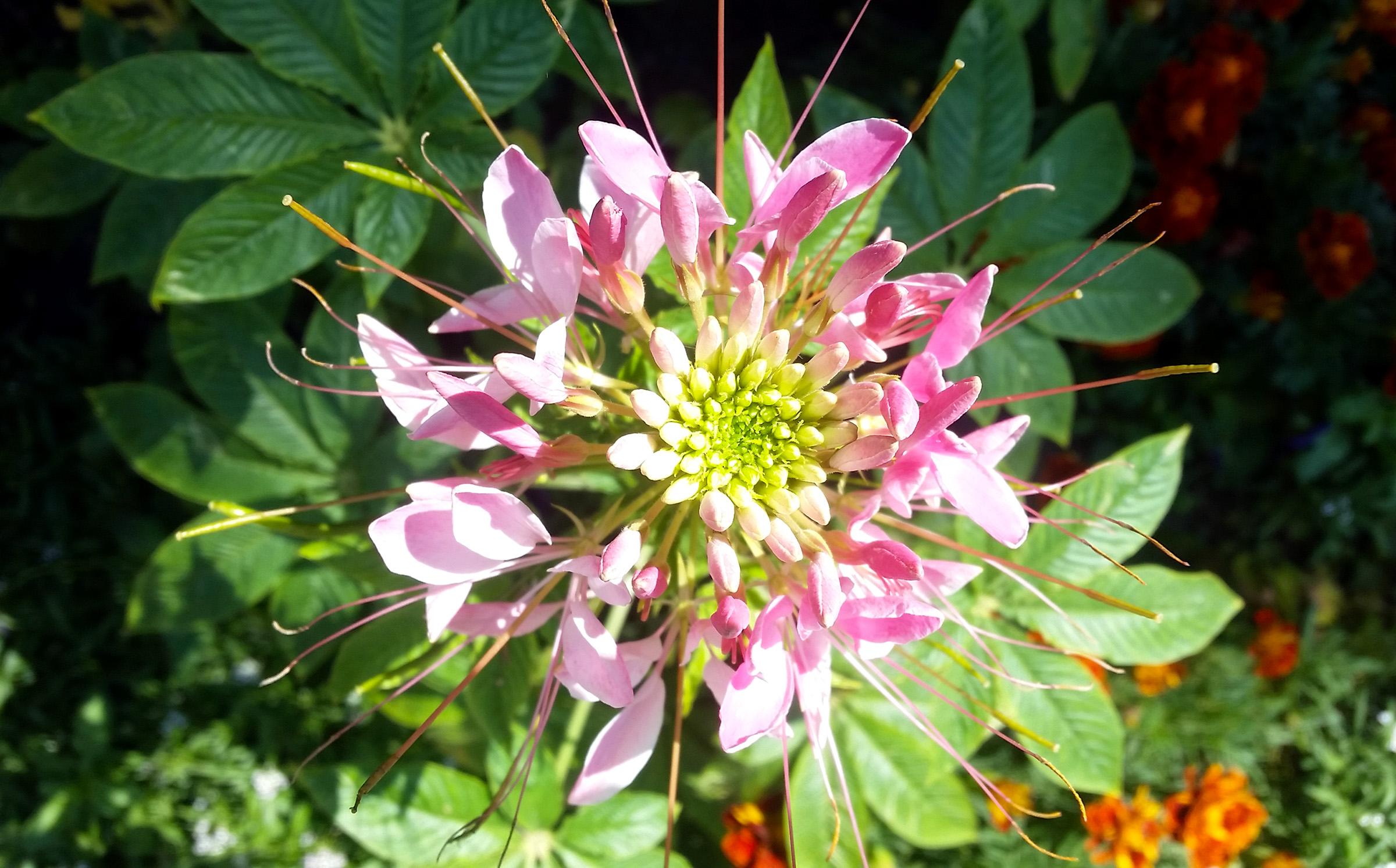 Gėlė kleomė