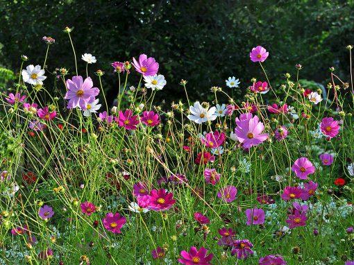 Gėlės nuotrauka. (Pavadinimas: Cosmia)