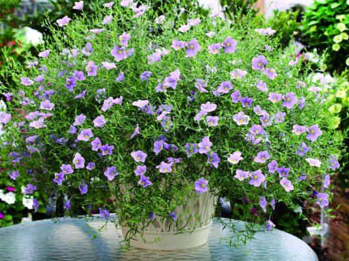 Gėlės nuotrauka. (Pavadinimas: Nyrenbergija)