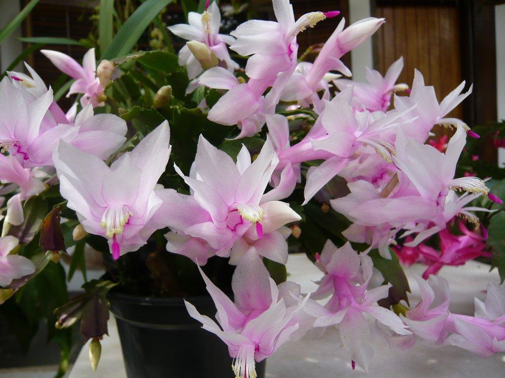 Gėlė plokštenis