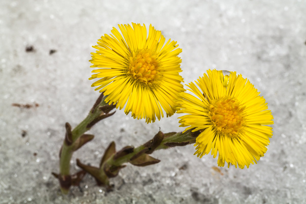 Gėlė šalpusnis
