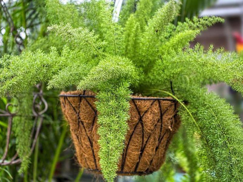 Gėlė smidras (asparagus)