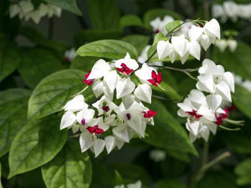 Gėlės nuotrauka. (Pavadinimas: Tomsono šventmedis)