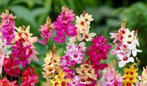 Gėlės Iksijos